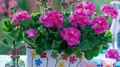 Герань – красивое, неприхотливое и полезное растение для дома