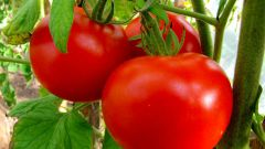 How to get a rich harvest of tomatoes