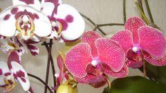 Как выбрать орхидею для дома