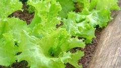 Как вырастить салат на подоконнике или балконе
