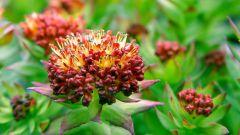 Родиола розовая – золотой корень здоровья