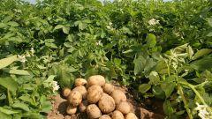Как вырастить на дачном участке ранний картофель