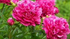 How to cut peonies commodity