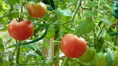 Why dry leaves of tomatoes in the greenhouse