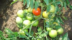 Do I need to hill tomatoes