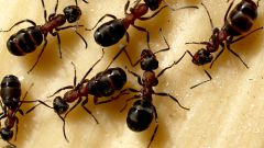 Homemade ants: how to get rid of ants in the apartment