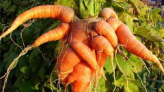 Why carrots horned and ugly