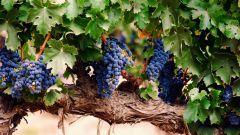 Как посадить виноград саженцами и черенками