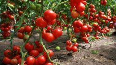 Как удобрять помидоры дрожжами
