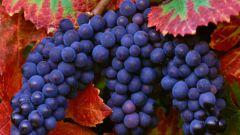 Как ухаживать за виноградом летом