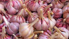 When to remove garlic winter