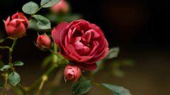 Как вырастить розу из срезанной ветви
