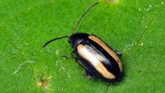 How to protect cabbage from the cruciferous flea beetles
