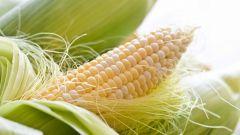 Как выращивают кукурузу в Сибири