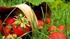 Нужен ли уход за садовой земляникой после сбора урожая