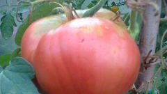 Преимущества мульчирования томатов