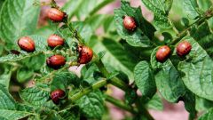How to get rid of the Colorado potato beetle.