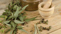 Эвкалипт – экзотика для поправки здоровья