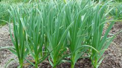 When to remove garlic from the garden