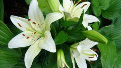 Лилии: посадка и уход в открытом грунте