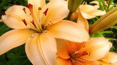 Нужно ли обрезать лилии после цветения