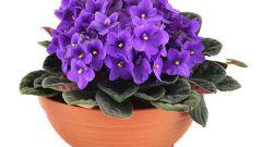 Как добиться шапочного цветения фиалки