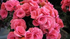 Care for begonia at home: planting, watering and fertilizing