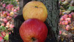 Как приготовить ароматизированное яблочное вино