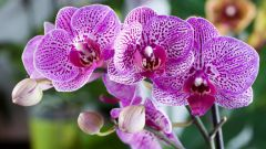The Phalaenopsis Orchid: features and rules of transplantation