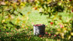 Что делать с яблоками осенью