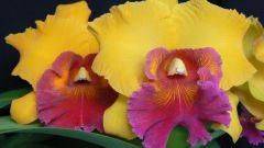 Как ухаживать за орхидеей каттлеей?