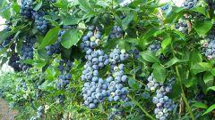 Голубика садовая высокорослая
