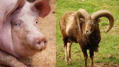 Сочетание гороскопов: Свинья-Козерог