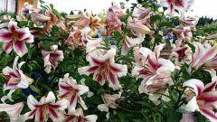 Лилии: почему цветы мельчают