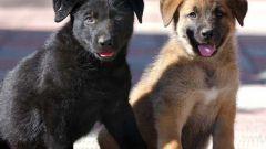 Выбор и приобретение щенка ВЕО