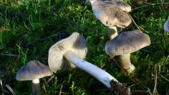 Какие грибы рядовки съедобные? Разновидности и характеристики