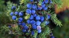 Как используют ягоды можжевельника в кулинарии