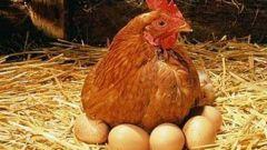 Содержание кур-несушек: кормление, уход, размножение
