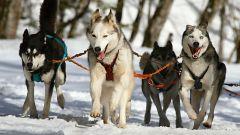 Какие бывают зимние забавы: собачьи упряжки