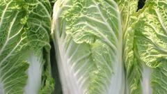 Как получить гарантированный весенний урожай пекинской капусты