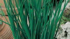 Как вырастить на подоконнике шнитт-лук