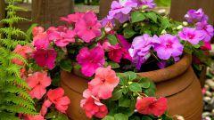 Бальзамины в саду и на балконе
