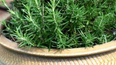 Как посеять семена розмарина на рассаду