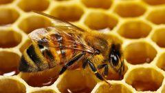 Полезные свойства пчелиной перги