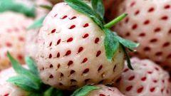 Белоплодная клубника: невидаль или норма