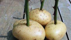 Симбиоз розы и картофеля