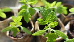 Когда высаживать рассаду помидоров, перца и огурцов в теплицу