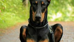 How to call a Doberman?