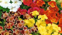 Мимулюс для балконов, горшков и цветников