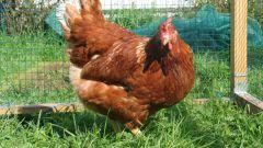 Как выбрать курицу несушку